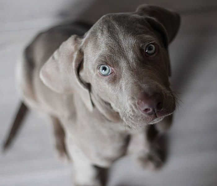 Get Pet-Friendly Certified Shelter puppy